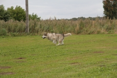 Lure Coursing004